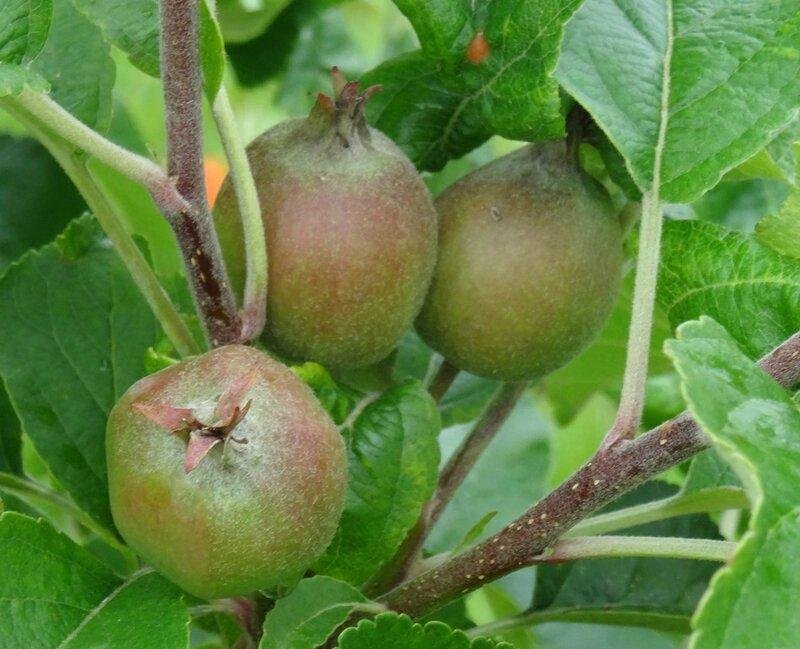 futures pommes