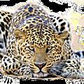 Léopard,guépard,panthère
