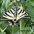 papillon : un flambé