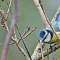 Mésange bleue • Cyanistes caeruleus • Famille des Paridae