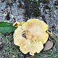Cantharellus cibarius (2)