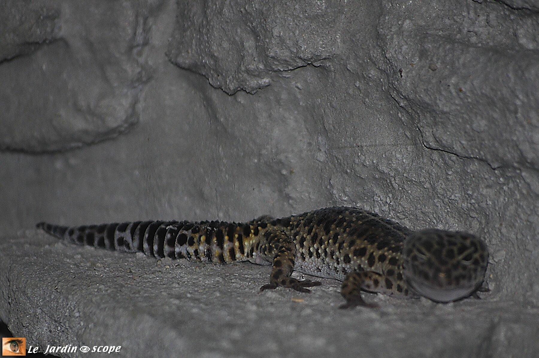 Gecko léopard • Eublepharis macularius • Famille des Eublepharidae