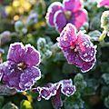Dans la gelée, les fleurs du printemps...