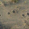 Panthera onca ? / Leopardus pardalis ?