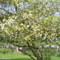 Poncirier trifolié • Poncirus trifoliata • F/ Rutaceae