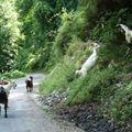 chèvres divaguant