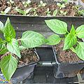 Mes semis bien au chaud,fleurs,poivrons ect..