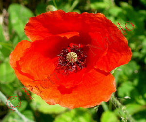 coquelicot_detail