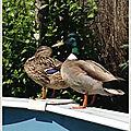 Des canards dans la piscine ...