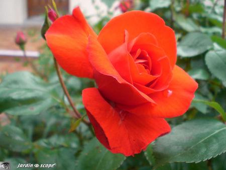 Rose_plein_soleil