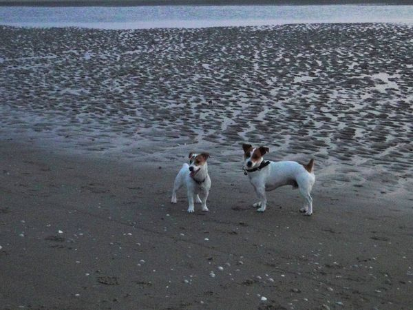 chiens plage jack russell