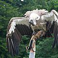 vautourfauve 2-0044