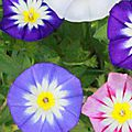 convolvulus mix