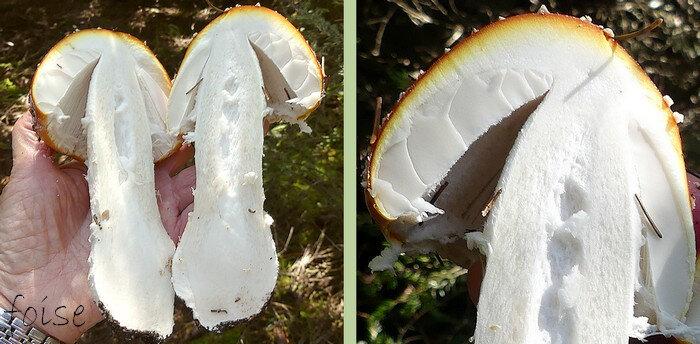 massif et plein devenant creux chair ferme blanche orangée sous la cuticule