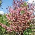 Cerisier_du_Japon