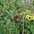 2008 08 25 Des tournesols de mon jardin en fleur