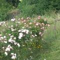 roses sur la barrière