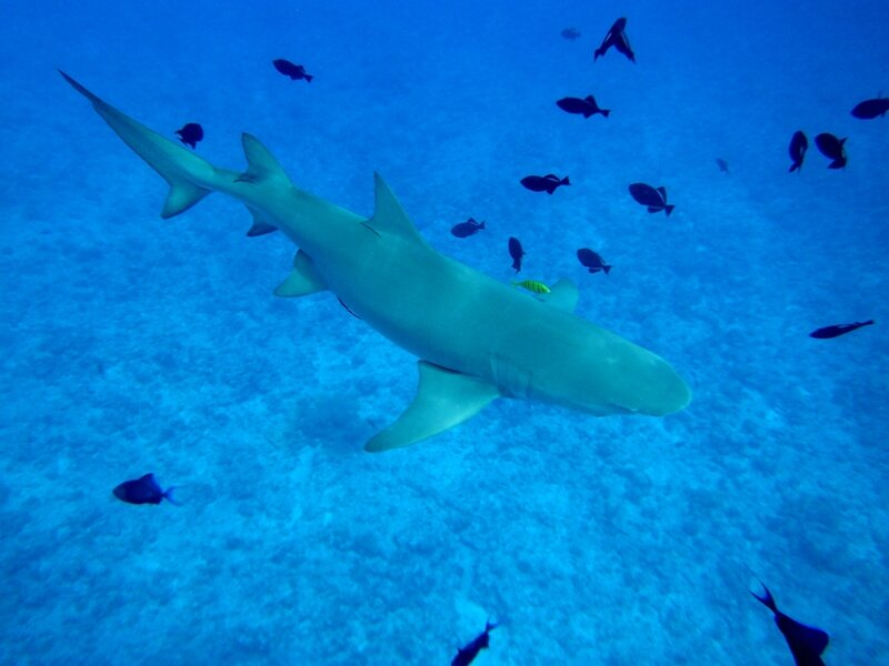 Lemon shark… gloupssss
