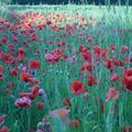 Coquelicots, rêves...