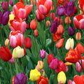 Fête des tulipes