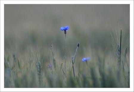 plaine bleuets soir 052011