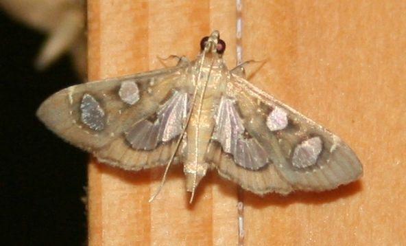 Bocchoris borbonensis