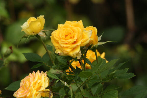rose-a