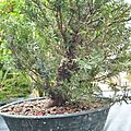 Taxus baccata #8