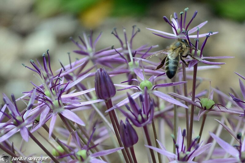 Alium-et-abeille
