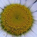 2008 10 11 zoom sur le coeur d'une fleur de marguerite