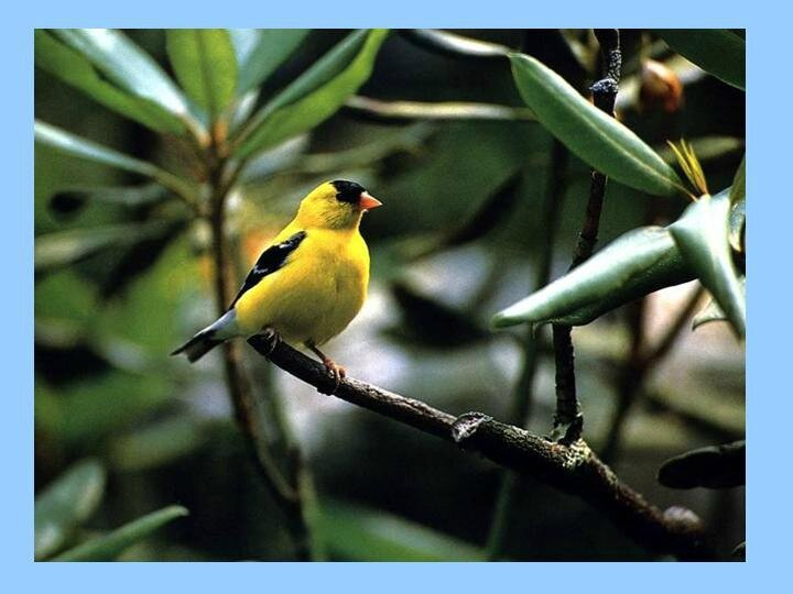 oiseau mamiekéké