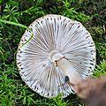 Amanita rubescens (2)