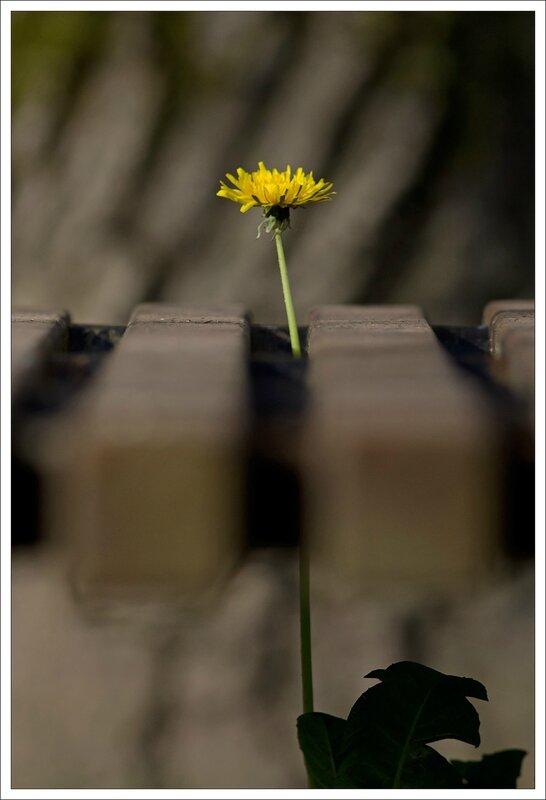 ville fleur pissenlit banc 4 310314