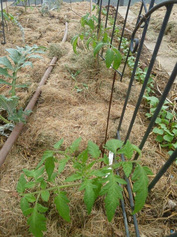 22-tomates (2)