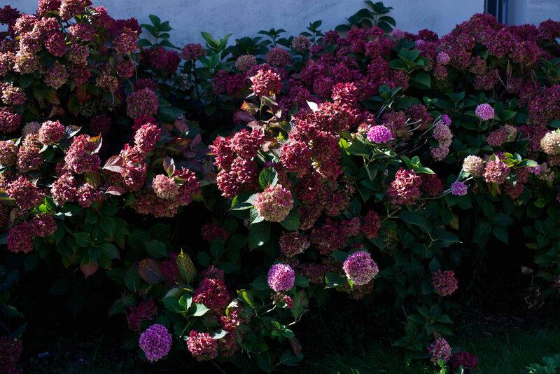 Les hortensis en Saintonge - 1