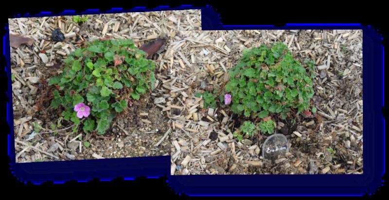 fleurettes sur touffes d erodium