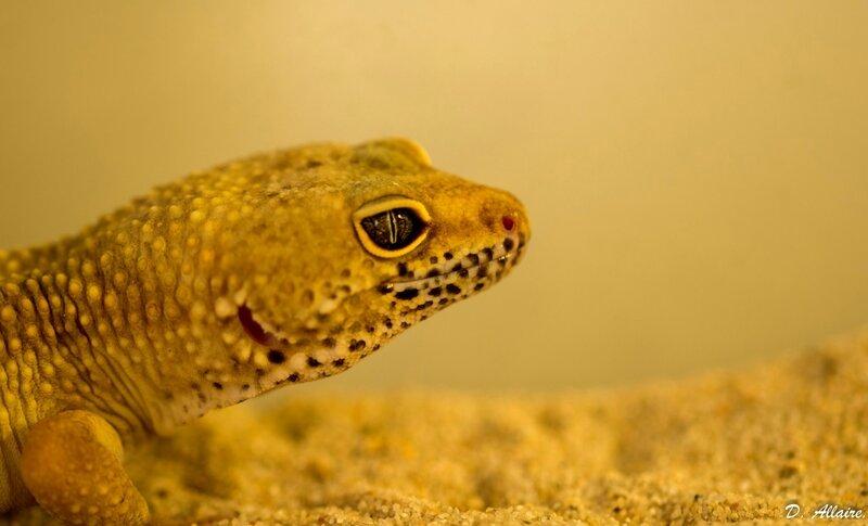 Geckos 1