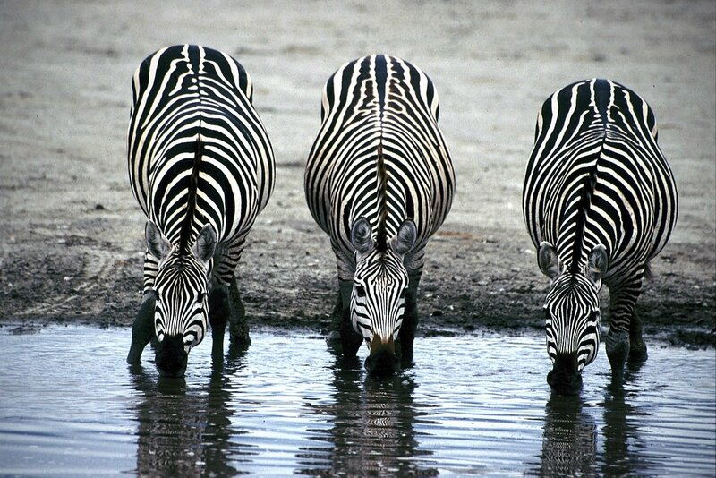 1280px-Three_Zebras_Drinking