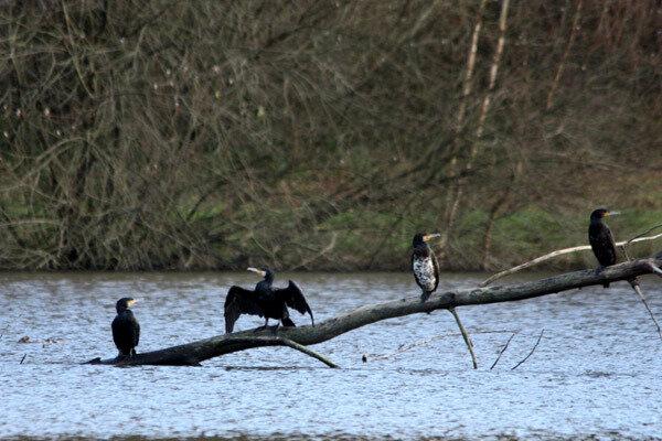 cormoran-d