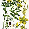 Herbier, les plantes qui soignent - le millepertuis