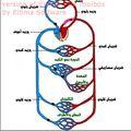 الدورة الدموية عند الانسان