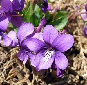500px-Purpleflower_Violet_