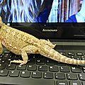Dragon de Lawson 3