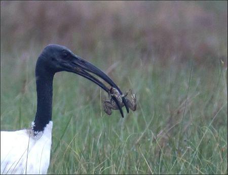 Brouage lulu ibis sac grenouille 2 GP 030911