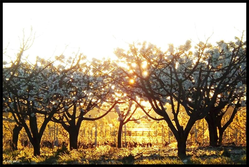 cerisier coucher de soleil partie 2