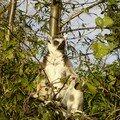 Lemur sunbathing