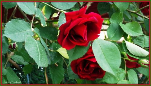 Roses rouges 300415