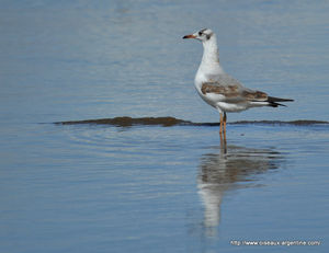 mouette_t_te_grise__4_