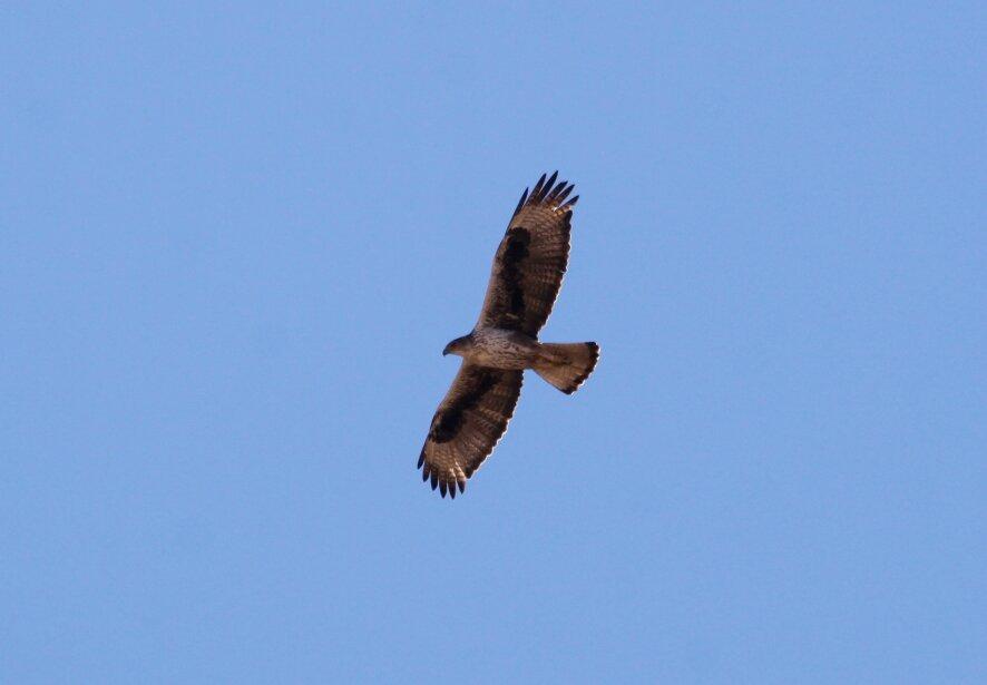 Aquila fasciata