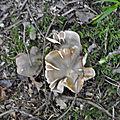 Tricholoma saponaceum (1)